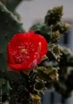 Cactus Flower-1